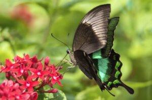 бабочка павлин papilio palinurus палинурус