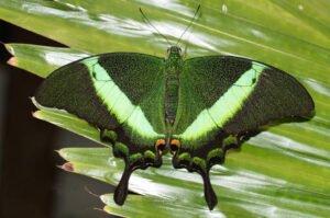 зеленая бабочка павлин papilio palinurus