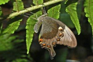 бабочка павлин papilio palinurus