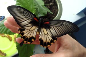 бабочка парусник белая форма papilio lowi