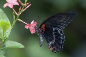 бабочка ночь или ласточкин хвост парусник леви самец