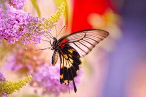 бабочка парусник papilio lowi самка