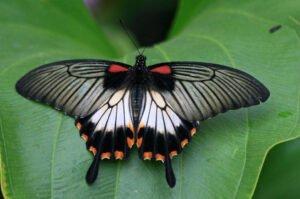 papilio lowi самка бабочка парусник