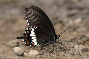 бабочка Полит Papilio Polytes самец