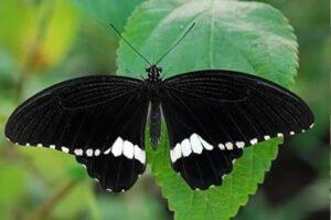 бабочка Полит Papilio Polytes