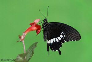 Papilio Polytes живая бабочка Полит