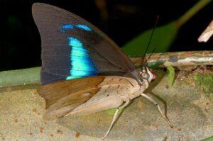 бабочка Препона prepona demophon
