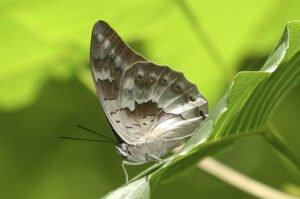 archaeprepona demophoon бабочка препона