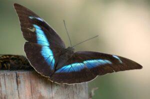 prepona demophoon бабочка препона демофон