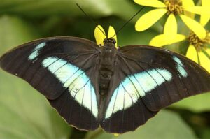 prepona demophon бабочка препона