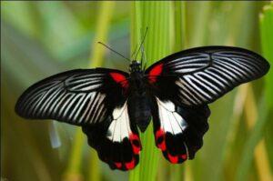 бабочка румянец белая форма