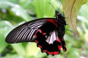 papilio rumanzovia бабочка румянец