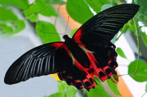 бабочка парусник Румянцева румянец papilio rumanzovia