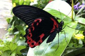 бабочка парусник Румянцева румянец papilio rumanzovia самка