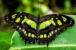 живая бабочка Сипроета стелена  Siproeta Stelenes