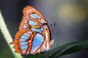 Сипроета стелена  бабочка Siproeta Stelenes