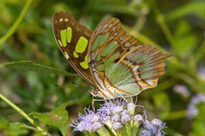 бабочка Сипроета стелена  Siproeta Stelenes