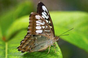 живая бабочка Сильвия Parthenos Sylvia