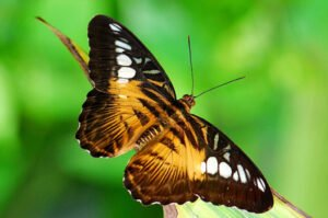 бабочка Сильвия   Parthenos Sylvia