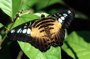 бабочка Parthenos Sylvia Сильвия