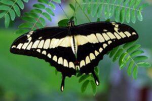 бабочка Тоас