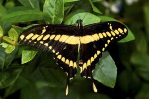 бабочка Тоас Papilio thoas