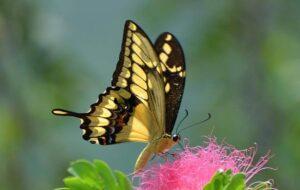 живая бабочка Тоас Papilio thoas