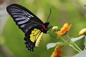 живая бабочка птицекрылка troides rhadamantus троидес