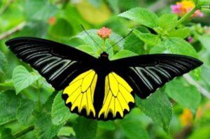 бабочка золотая птицекрылка troides rhadamantus
