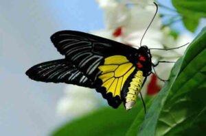 золотая птицекрылка бабочка troides rhadamantus