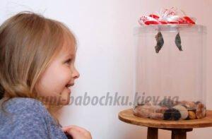 бабочкарий для ребенка вырастить бабочку