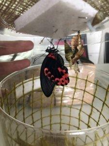 бабочка румянец родилась в бабочкариуме