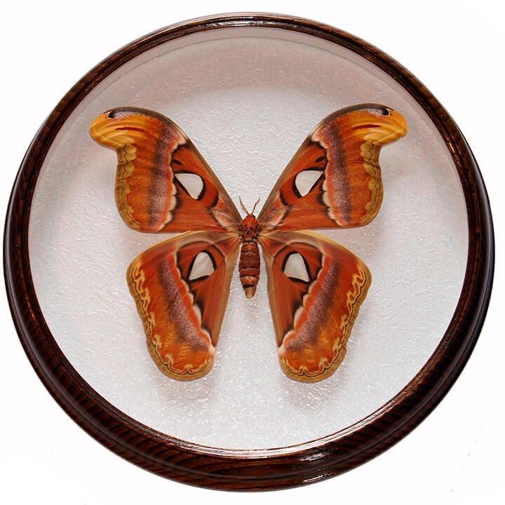 Attacus Atlas F бабочка в раме сувенир под стеклом