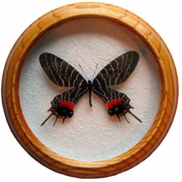 Bhutanitis lidderdalii засушенная бабочка в деревянной раме