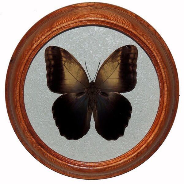Caligo Memnon бабочка в рамке на стену