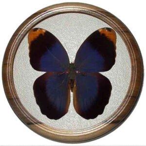 Caligo beltrao сувенир засушенная бабочка