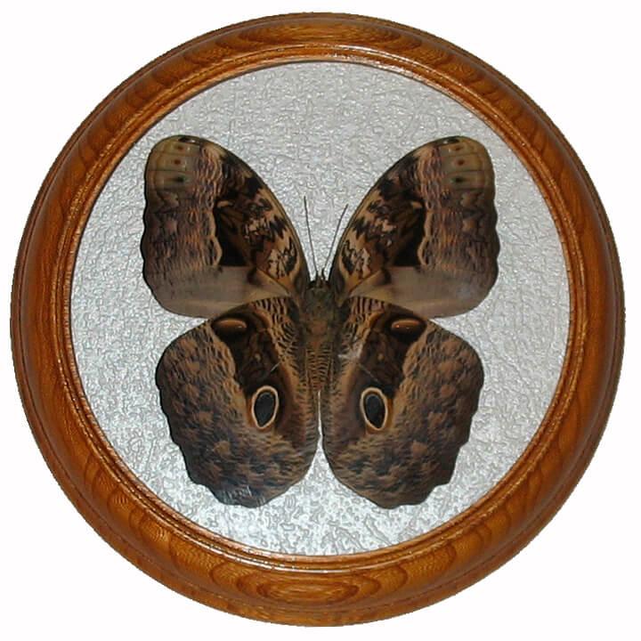 Caligo beltrao низ бабочка в рамке под стеклом