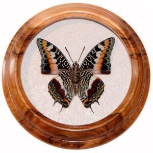 Charaxes Castor засушенная бабочка в рамке
