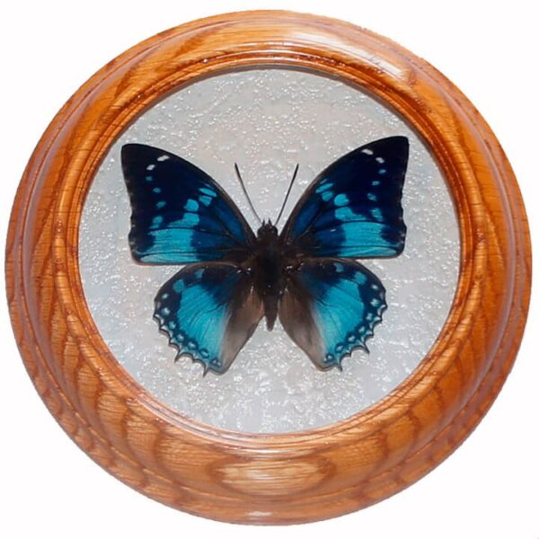 Charaxes smaragdalis засушенная бабочка под стеклом сувенир
