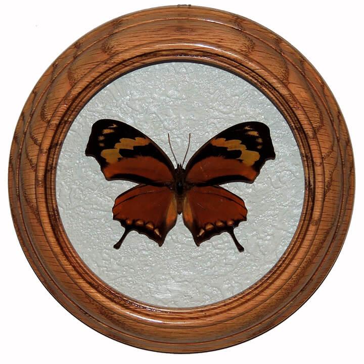 Consul Fabius засушенная бабочка в рамке