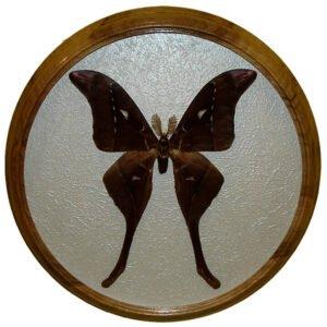 Coscinocera hercules засушенная бабочка под стеклом