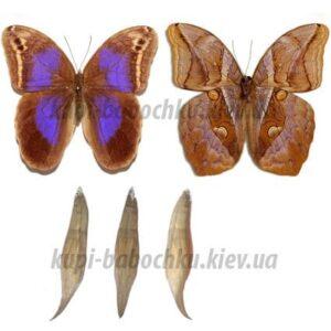 Eryphanis Polyxena куколка бабочек