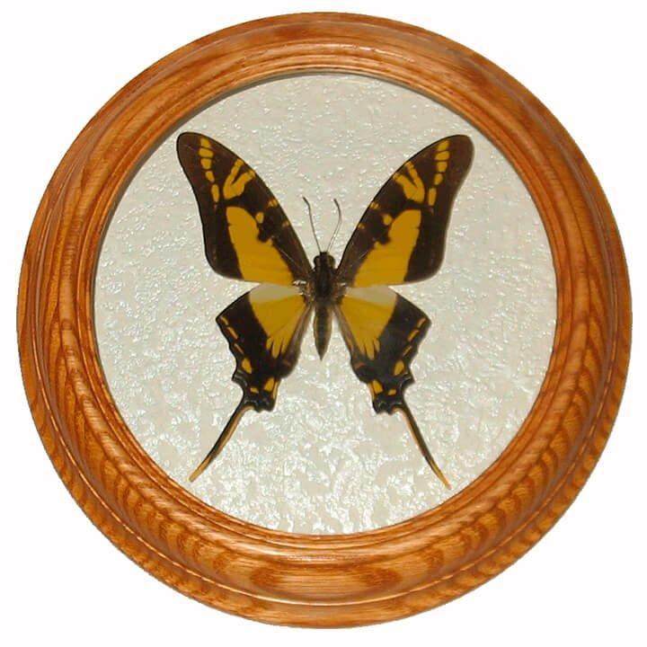 Eurytides thyastes бабочка в раме