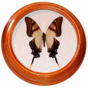 Eurytides columbus засушенная бабочка в рамке багетной