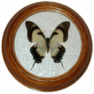 Eurytides dolicaon бабочка в раме сувенир
