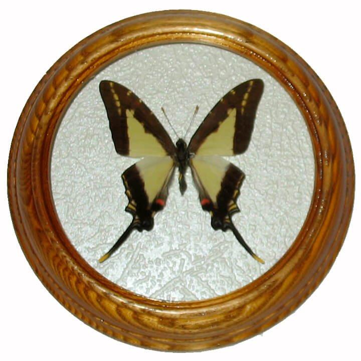 Eurytides lacondones засушенная бабочка в раме