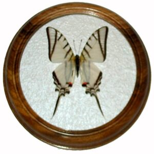 Eurytides protesilaus засушенная бабочка в раме