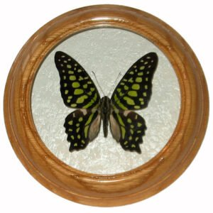 Graphium Agamemnon засушенная бабочка