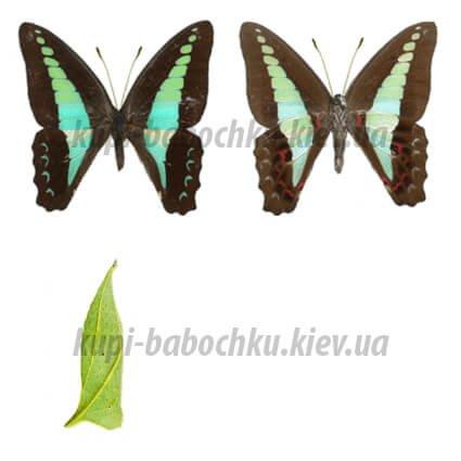 Graphium Sarpedon куколки бабочки