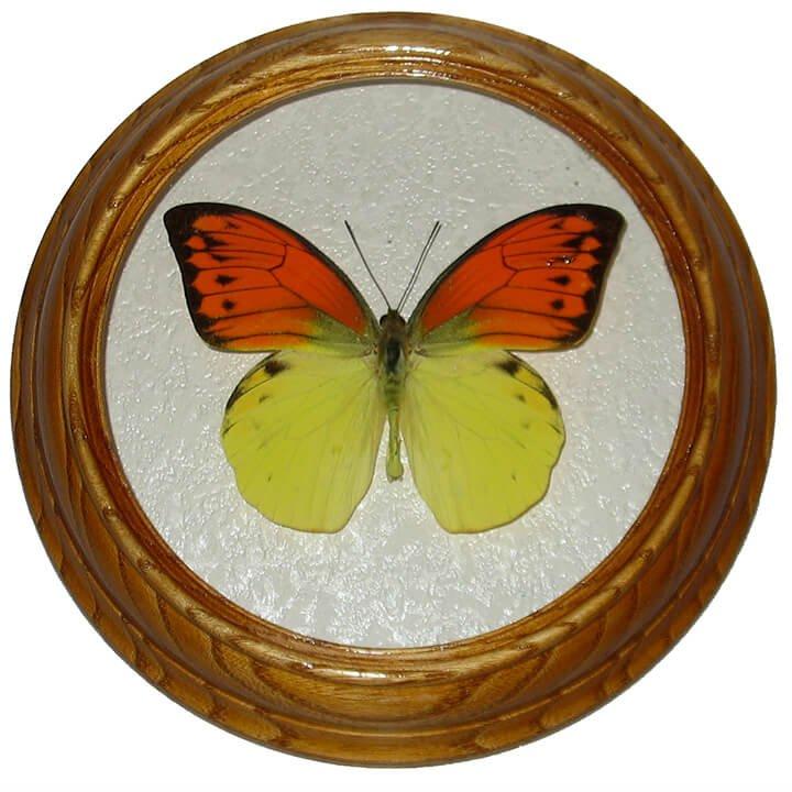 Hebomoia leucippe бабочка в рамке сувенир